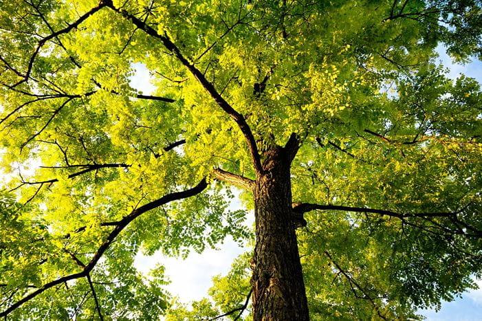 Fantastisk Administrationsgrundlag for fældning og beskæring af træer... TA96