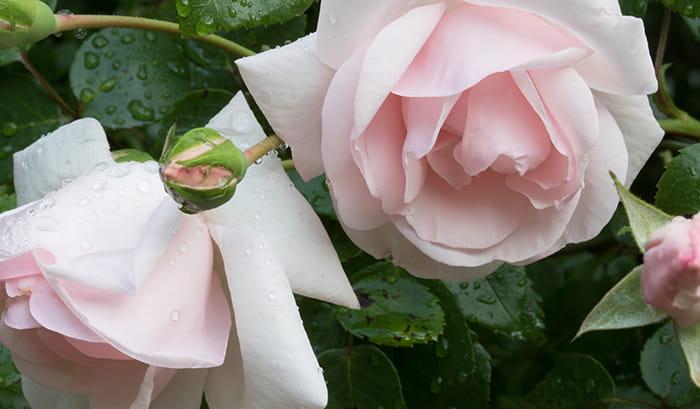Rosa alba maidens blush
