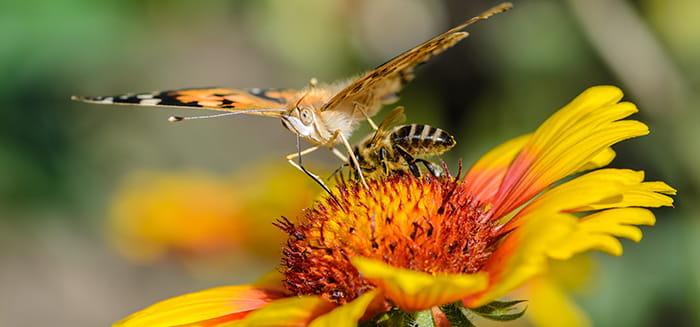 Insekter bestøver plante