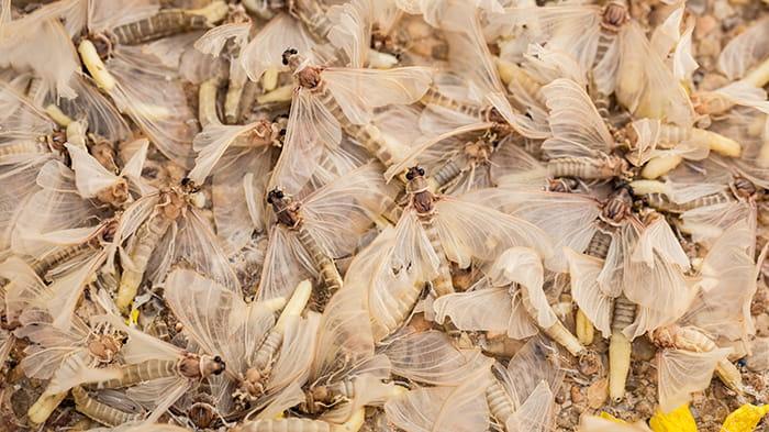 Døde majfluer